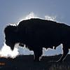 Bison Bull steaming in morning sun