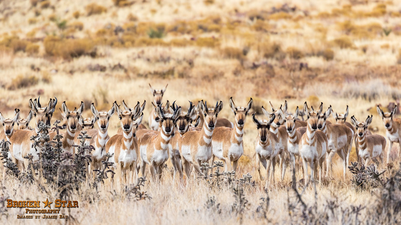 Pronghorn Antelope Herd, Prescott Valley, AZ