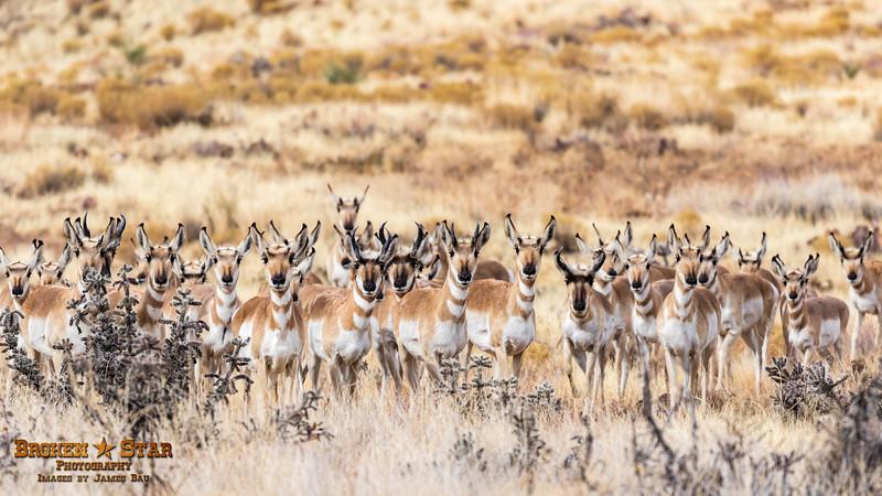 Pronghorn Antelope Herd, Prescott Valley, AZ