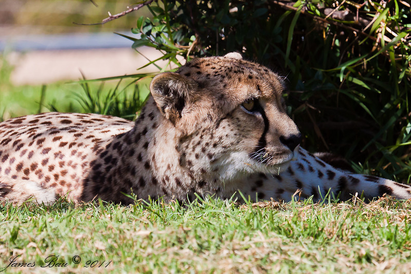 Cheetah chilling in the shade