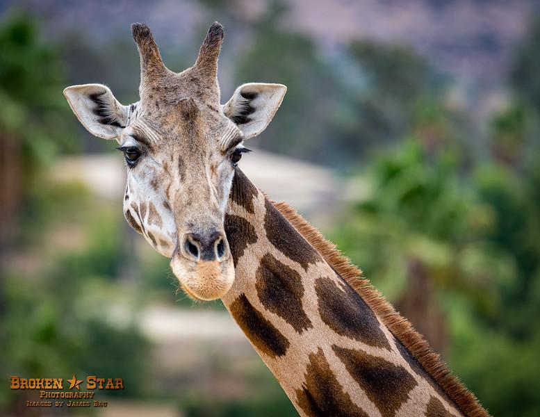 Reticulated Giraffe Portrait