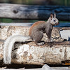 Kaibab Gray Squirrel