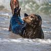 Posing Harbor Seal