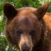 Cinnamon Black Bear Portrait