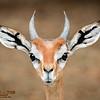 Gerenuk Buck Portrait