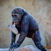 "Baby Gorilla ""Joanne"""