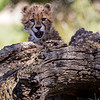 Cheetah cub playing peek-a-boo