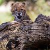 Cheetah cub playing peek-a-boo