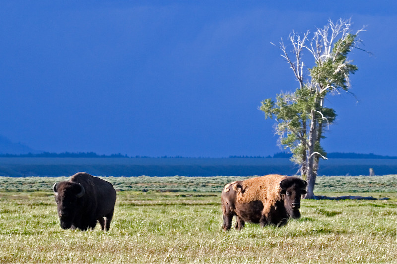 Bison Bulls with stormy skies