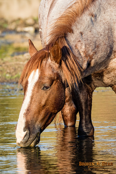 Salt River Wild Horse