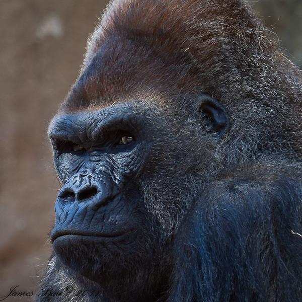 Silverback gorilla Winston