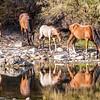 Salt River Wild Horses