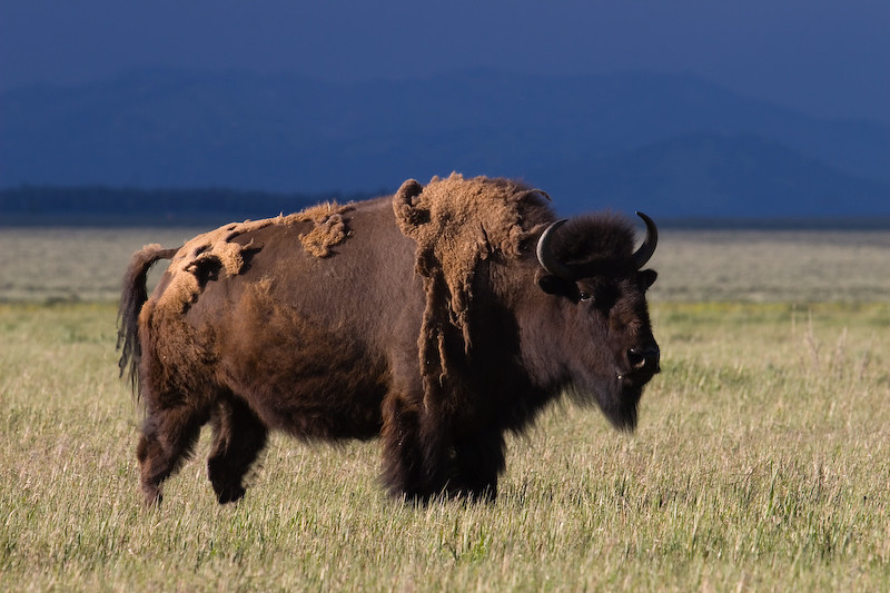 Bison Bull with stormy skies