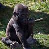 "Baby Gorilla ""Monroe"""