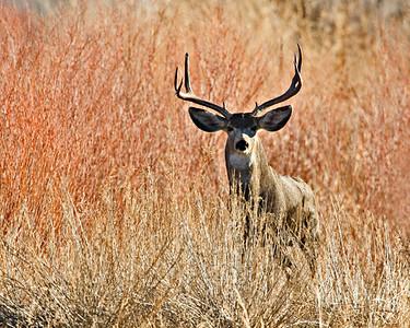 Mule Deer, Bosque del Apache, New Mexico