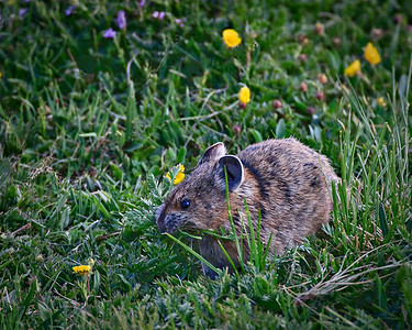 Mowing the Lawn - Pika Rocky Mtn. National Park, CO