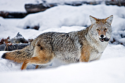 Coyote Snack, Yellowstone National Park, Wyoming