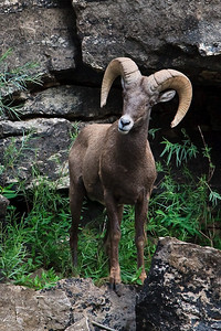 Bighorn Ram on the banks of the Green River, Dinosaur National Park, CO