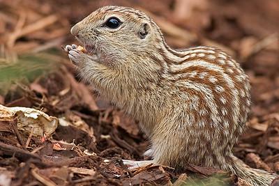 13 Lined Squirrel - Denver City Park, CO