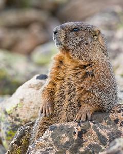 Yellow Bellied Marmot Rock Cut, Rocky Mtn. National Park, CO