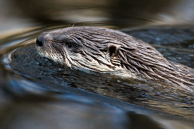Otter, Brazos Bend State Park, Texas