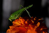Katydid & friend