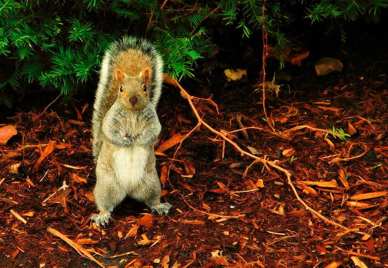 Hinman Squirrel, January.