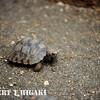 Baby Galapagos Giant Tortoise- well not so big