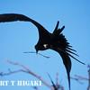 Frigatebird getting materials for the nest