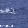 I am guessing here: Pilot whale?