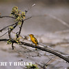 Yellow Warbler- I think