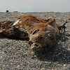 Seal Lion carcass on Fernandina