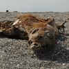Seal Lion carcass on Fernandina