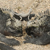 This looks romantic at first, but marine iguanas actually snort out a mix of salt water from the front of their faces.  It looks like they are blowing snot all over the place.  These two were sitting face-to-face, then the one on the left spat all over the one on the right.  (notice the moisture?)