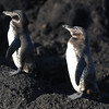 A pair of Galapagos Penguins were stadngin guard at our first stop - Bartolome