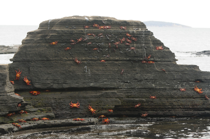 """If you look closely, you can see the bunch of black """"baby"""" crabs hidden among the red ones at the top."""