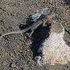 Lava Lizard on Bartolome