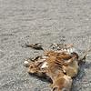 A dead sea lion on Fernandina