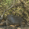 """Mr. Lonesome George - the last of his kind, and they are desperately trying to """"hook him up"""" if you know what I mean.."""