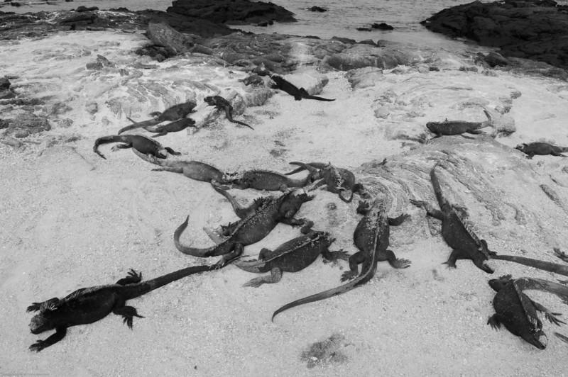 Marine Iguanas were everywhere on Fernandina