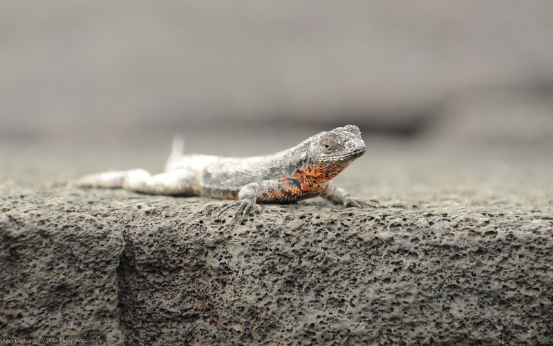 Lava Lizard on Fernandina
