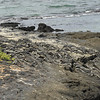 I thought this was another patch of volcanic rock, then I realized there were dozens of Marina Iguanas sunbathing...