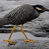 Crown Night Heron looking for food