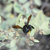 Carpenter Bees were everywhere on Isabela.  At first, it made it tough to pay attention to anything else.  Then it was clear they didn't care about us.