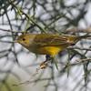 Yellow Warbler on Isabela