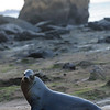 These bigger male sea lions really were not that nice.  He won this staredown... EASILY...