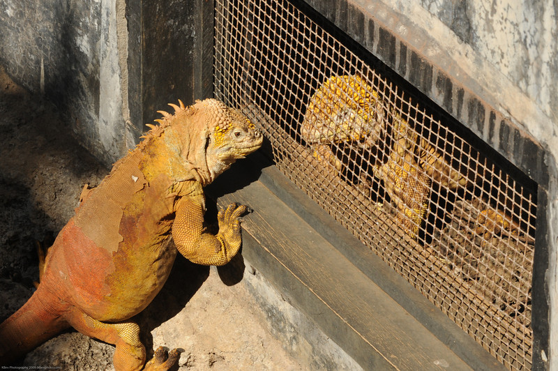 This looked like a scene from a bad Disney movie - you know, one Iguana visits the otehr in prison... then some bad musical number begins...