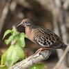 A fantastic looking Galapagos Dove on Isabela