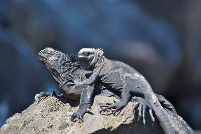 Friendly marine iguanas