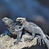 Friendly marine iguanas